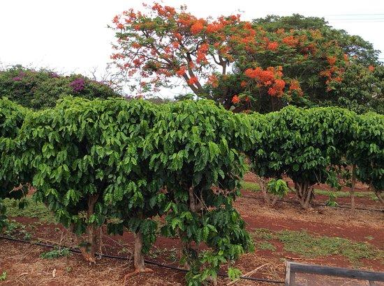 Kalaheo, Hawaï: Coffee plants along the tour.