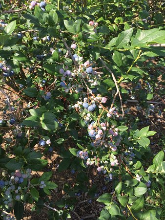 Krupka's Blueberry Plantation: Delicious blueberries ready for you to pick!