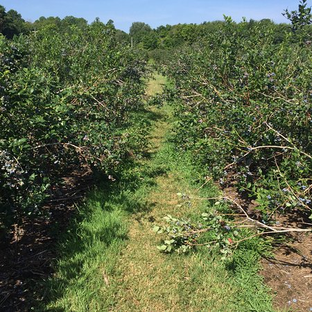 Fennville, Мичиган: Delicious blueberries ready for you to pick!