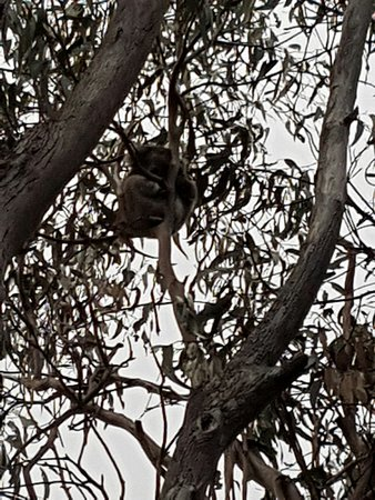 "Western KI Caravan Park and Wildlife Reserve: Koala on the ""Koala Trail"" at the caravan park."