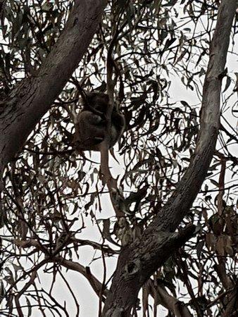 "Кингскот, Австралия: Koala on the ""Koala Trail"" at the caravan park."