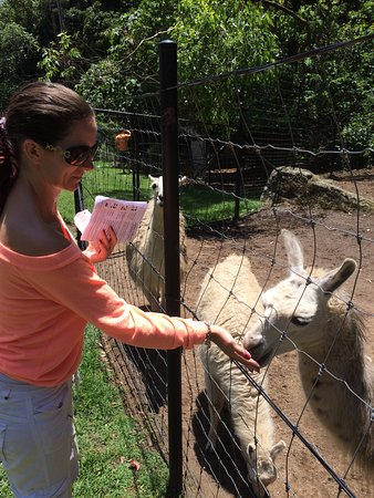 Nowra, Austrália: Feeding a llama
