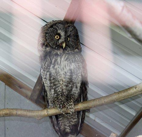Amos, Canadá: Owl