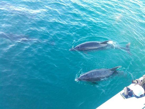 Picton Sound: Dolphins galore