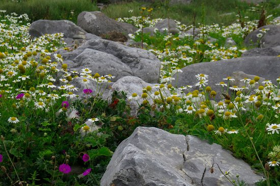Kilfenora, Irlanda: wildflowers o the Burren