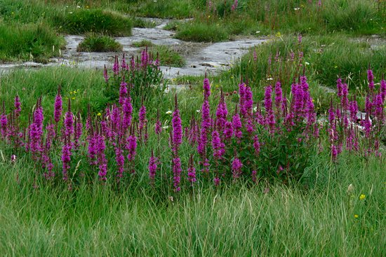 Kilfenora, Irlanda: wildflowers of the Burren