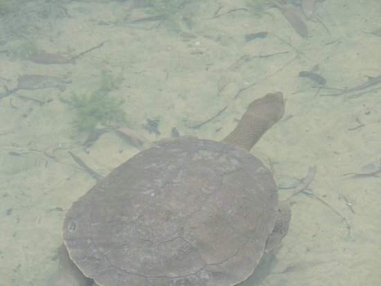 Nuriootpa, Australië: Turtles at Maggie Beer's Lake