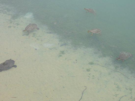Nuriootpa, Australia: And more Turtles