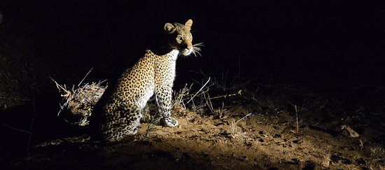 Timbavati Private Nature Reserve, Südafrika: Leopard before making her kill