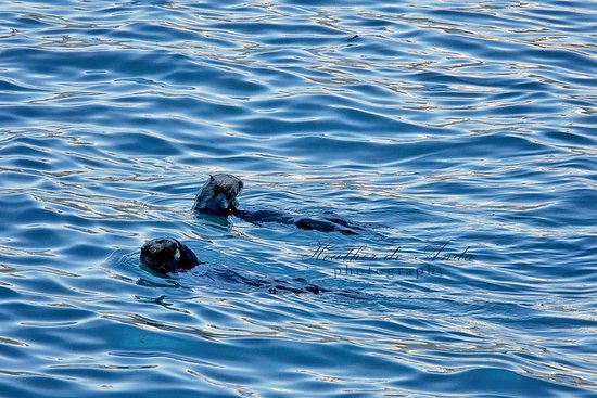 Playful sea otters during our day cruise to Fox Island via Kenai Fjords Tours