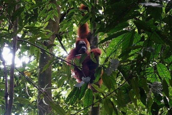 Harimau Sumatra: _20160728_131459_large.jpg