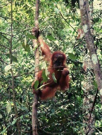 Harimau Sumatra: _20160728_130800_large.jpg