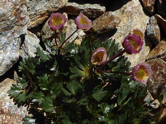 Tiefenbachbahn: Ranunculus glacialis - der Gletscher-Hahnenfuß