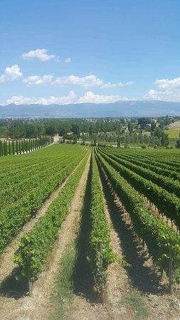 Tordandrea, Italia: Beautiful vines