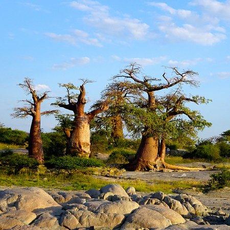 Makgadikgadi Pans National Park, Botsuana: Baobabs auf Kubu Island am Morgen