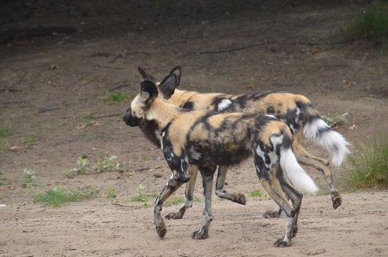 Beekse Bergen Safari Park: wilde hond