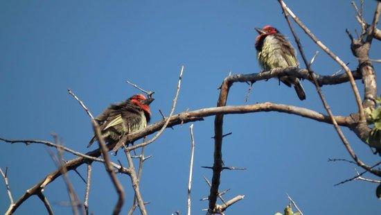 Thabazimbi, Sør-Afrika: Blackcollar Barbet (Lybius torquatus subsp. torquatus)