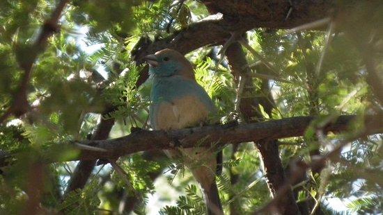 Thabazimbi, Sør-Afrika: Blue Waxbill (Uraeginthus angolensis subsp. niassensis)
