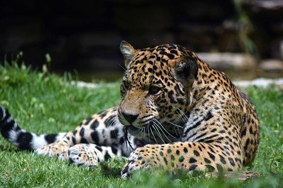 Tibasosa, Kolumbien: Jaguar