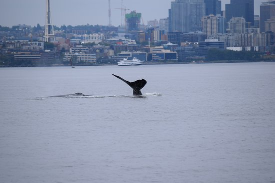Puget Sound Express - Day Trips: Humpback fluke with Seattle skyline