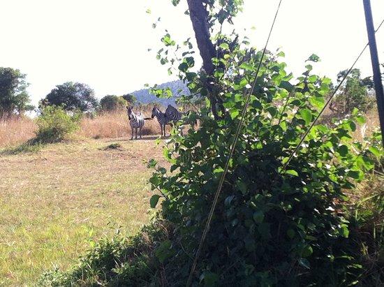 Enkewa Camp: Cebras pastando al lado de la tienda.