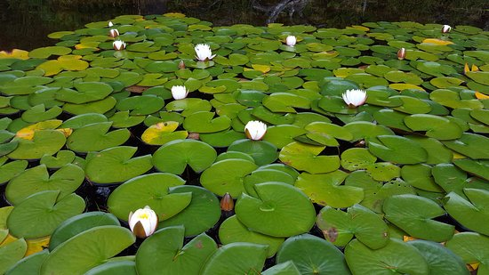 Florence, OR: Water lillies on Cleawox lake