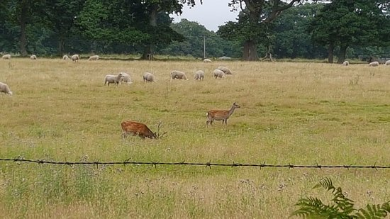 Arne, UK: Sika Deer