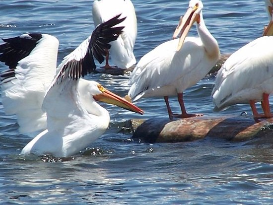 Every summer the magnificent pelicans come to Windsor Lake along with other beautiful exotic bir