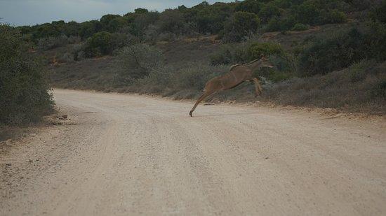 Addo Elephant National Park, Afrika Selatan: Ein Bock direkt vor dem Auto