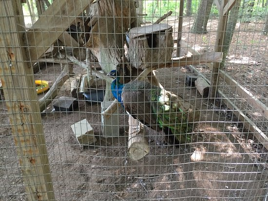 Millsboro, DE: I dont kknnow what the hell a peacock is doing in the woods but here it is ,,,caged
