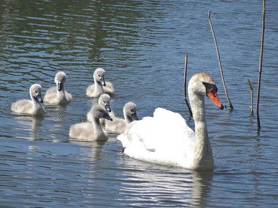 Slimbridge, UK: Mute Swan With Cygnets
