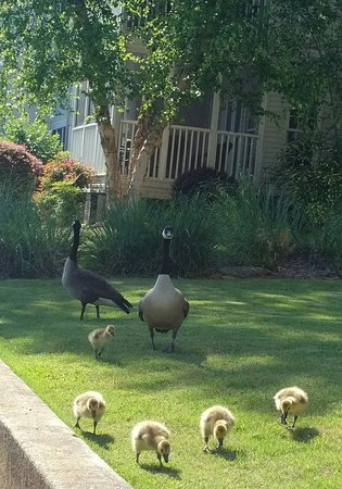 Villa Rica, Georgien: Geese with babies beginning of summer