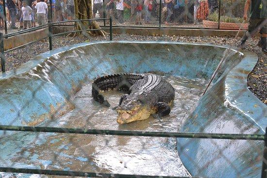 ดาเวา, ฟิลิปปินส์: Stressed crocodile