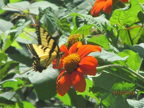 Somerset, NJ: Yellow butterfly