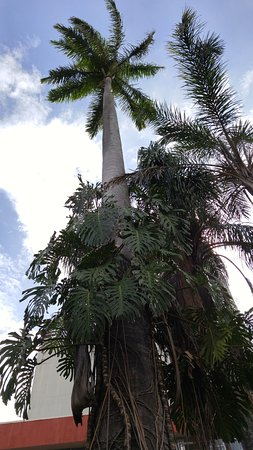 Central Park (Parque Central): tall trees in the park