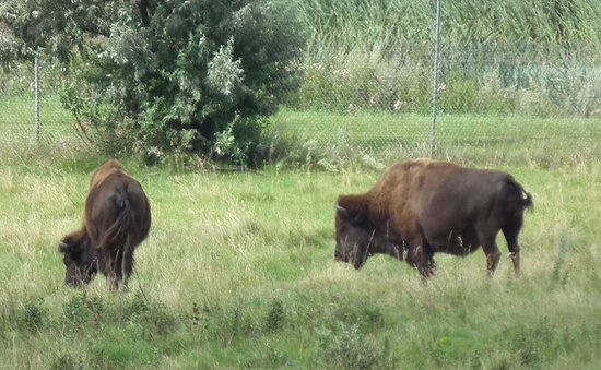 Jamestown, Dakota del Norte: the buffalo at the centre