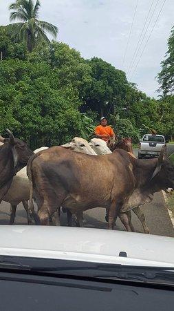 Torio, Panama: Local traffic jam