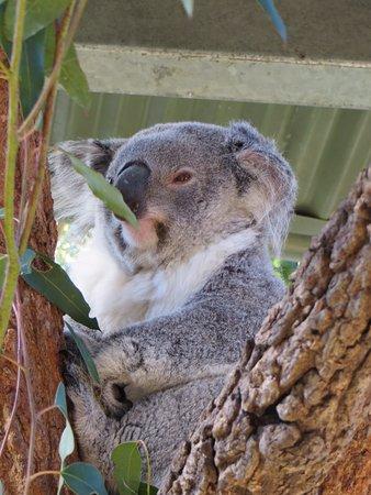 Mosman, أستراليا: Some time up close with a koala 