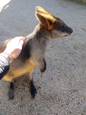 Mosman, أستراليا: Meeting a friendly swamp wallaby