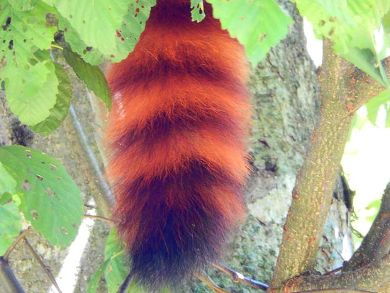Aldergrove, Canada: All I could clearly see of the red panda