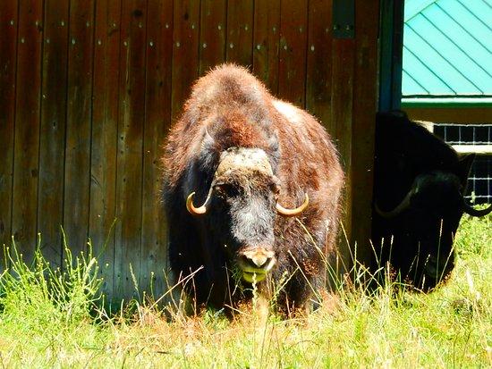 Aldergrove, Canada: Musk ox
