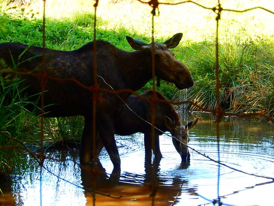 Greater Vancouver Zoo: Momma moose and her baby