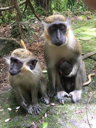 Saint Peter Parish, Barbados: Monkey family