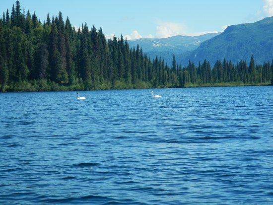 Denali Southside River Guides: Trumpeter Swans