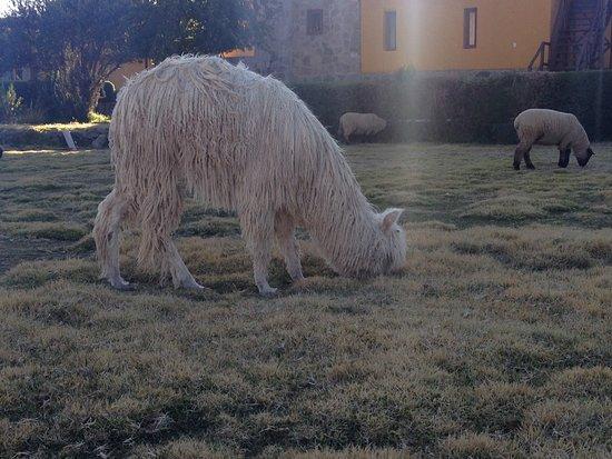 Eco Inn Colca: Cute animals on grounds
