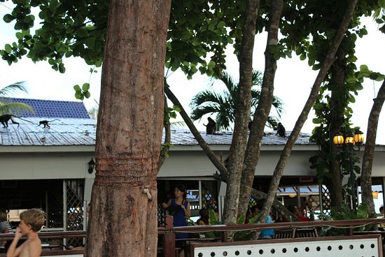 Coral View Island Resort: Monkeys peacefully passing over the restaurant roof twice a day at 2pm and 7pm.