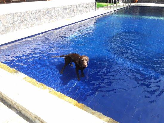Kubu, Indonesia: Hond in zwembad. Om hygiënische redenen normaal niet toegestaan in Nederland, hier geen probleem