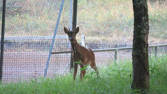 La Roche Chalais, Γαλλία: Deer spotted by the tennis courts