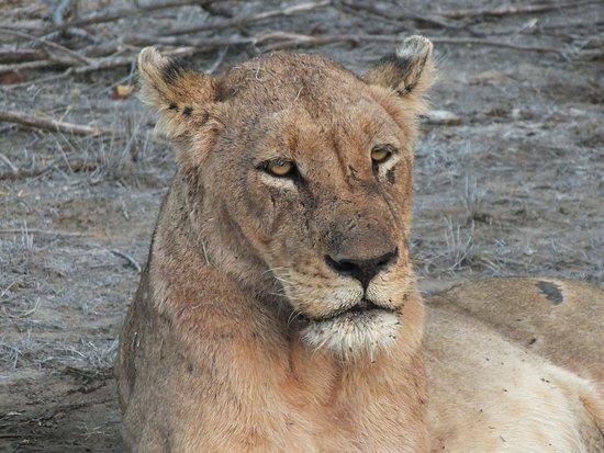 Balule Private Game Reserve, Sydafrika: Op safari vlak bij Ku Sungula