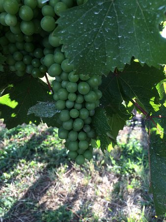 Hood River, OR: Marchesi grapes